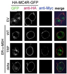 Image of MC4R and α-MSH expression in neurons