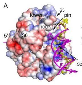Image of Dda helicase bound to DNA