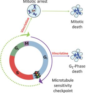 Model of cell death from microtubule inhititors