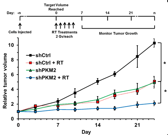 Inhibition of the PKM2 gene (accompany 2 Gy/each radiation) will significantly decrease the tumor volume.