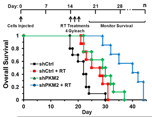 Inhibition of the PKM2 gene (accompany 4 Gy/each radiation) will significantly increase the survival.